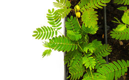 Acacia plant Stock Image