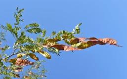 Acacia Stock Photography