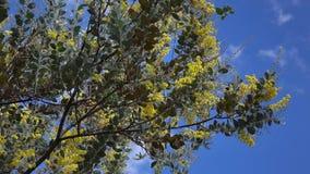 Acacia podalyriaefolia, Da Lat city, Lam province, Vietnam stock footage