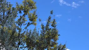 Acacia podalyriaefolia, Da Lat city, Lam Dong province, Vietnam. Acacia podalyriaefolia and the blue sky. With its year-round cool weather, Da Lat supplies stock footage
