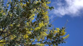 Acacia podalyriaefolia, Da Lat city, Lam Dong province, Vietnam. Acacia podalyriaefolia and the blue sky. With its year-round cool weather, Da Lat supplies stock video footage