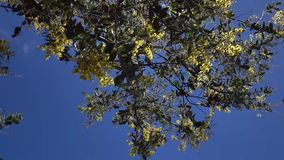 Acacia podalyriaefolia, Da Lat city, Lam Dong province, Vietnam. Bluesky , Acacia podalyriaefolia swaying lightly. With its year-round cool weather, Da Lat stock video footage