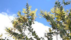 Acacia podalyriaefolia, Da Lat city, Lam Dong province, Vietnam. Bluesky , Acacia podalyriaefolia swaying lightly. With its year-round cool weather, Da Lat stock footage