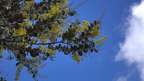 Acacia podalyriaefolia, Da Lat city, Lam Dong province, Vietnam. Cloud sky, Acacia podalyriaefolia swaying lightly. With its year-round cool weather, Da Lat stock video footage