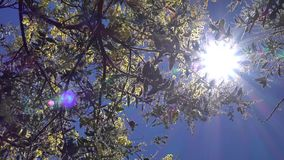 Acacia podalyriaefolia, Da Lat city, Lam Dong province, Vietnam. Flare, Acacia podalyriaefolia swaying lightly. With its year-round cool weather, Da Lat supplies stock video footage