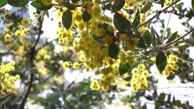 Acacia podalyriaefolia, Da Lat city, Lam Dong province, Vietnam. Sunshine, Acacia podalyriaefolia swaying lightly. With its year-round cool weather, Da Lat stock footage