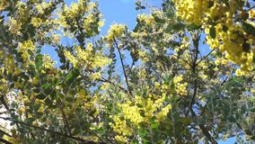 Acacia podalyriaefolia, Da Lat city, Lam Dong province, Vietnam. Sunshine, Acacia podalyriaefolia swaying lightly. With its year-round cool weather, Da Lat stock video footage