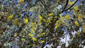 Acacia podalyriaefolia, Da Lat city, Lam province, Vietnam stock video footage
