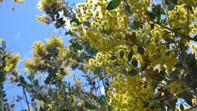 Acacia podalyriaefolia, Da Lat city, Lam Dong province, Vietnam. Acacia podalyriaefolia swaying lightly. With its year-round cool weather, Da Lat supplies stock video footage