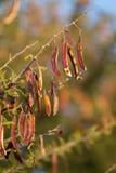 Acacia pods Stock Photos
