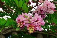 Acacia rose Images stock
