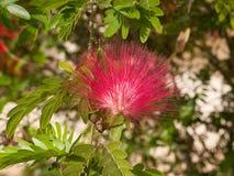 Acacia rossa del fiore Immagine Stock Libera da Diritti