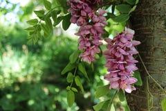 Acacia roze bloemen Stock Afbeeldingen
