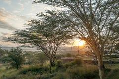 Acacia's bij susnset Stock Afbeeldingen