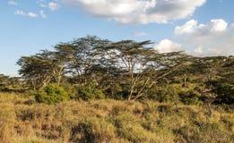 Acacia's in serengeti Royalty-vrije Stock Foto