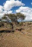 Acacia in the serengeti Stock Image