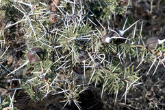Acacia siffleur d'épine Photos libres de droits