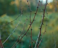 Acacia spikes in close up Stock Images