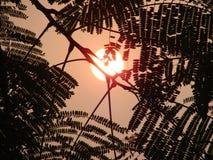Acacia and sun Royalty Free Stock Image