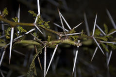Acacia Thorn Tree stock photography