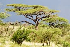 Acacia (tortilis dell'acacia) Fotografie Stock Libere da Diritti