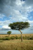 Acacia tree Stock Image