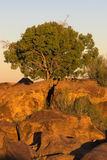 Acacia tree. In the early morning sun Royalty Free Stock Photos