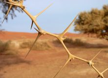 Acacia Tree Royalty Free Stock Images