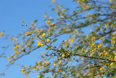 Acacia Tree Stock Images