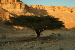 ACACIA TREE. In the dry desert Royalty Free Stock Photography