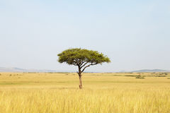 Acacia tree in Africa Stock Images