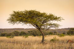 Acacia Tree Africa Stock Photos