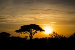 Acacia tree in Africa savannah sunset silhouette. Sunset silhouette of african acacia trees in savanna bush. Wild safari scenic landscapes of Africa Stock Photography
