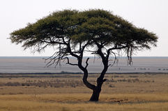 Acacia Tree in African landscape Stock Image