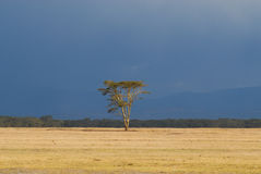 Acacia tree on African plain (Kenya) Stock Photography