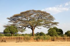 Acacia tree. Along the banks of the dry african river near Turmi, Ethiopia Stock Photography