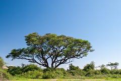 Acacia Tree. On Amboseli National Park, Kenya stock photography