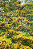 Acacia tree in autumn Stock Images
