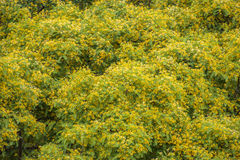 Acacia tree background Stock Image