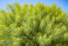 Acacia tree background Royalty Free Stock Image