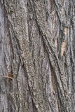 Acacia tree bark Royalty Free Stock Image