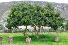 Acacia tree with beans in the mountains royalty free stock images