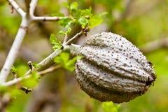 Acacia tree with big grey fruit. Ball Royalty Free Stock Photos