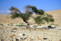 Acacia tree Stock Images