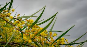 An Acacia tree in bloom. Sky and yellow puffy flowers in the frame stock photo