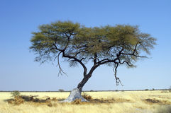 Acacia tree with blu sky Royalty Free Stock Images