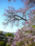 Acacia tree Royalty Free Stock Image