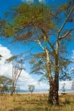 An acacia tree with blue sky. An acacia tree  in the Ngoro Ngoro crater Stock Photos