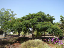 Acacia tree in botanic garden Stock Images