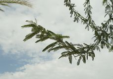 Acacia tree branch Royalty Free Stock Images